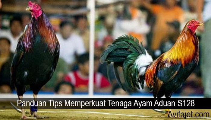 Panduan Tips Memperkuat Tenaga Ayam Aduan S128