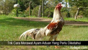 Trik Cara Merawat Ayam Aduan Yang Perlu Diketahui